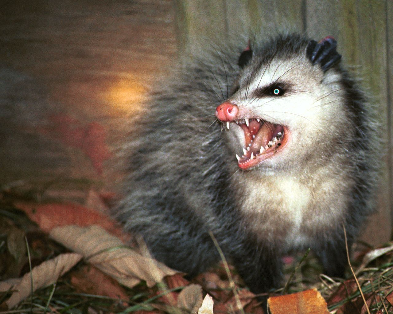 Possums Compared to Opossums: What's the Difference? Raccoon With Rabies Foaming