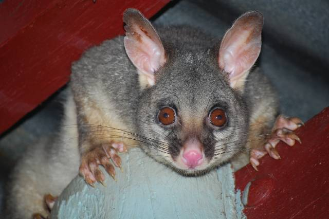 possum by Bedwetting in Australia Possums and Opossums: Australia and America. All Explained.