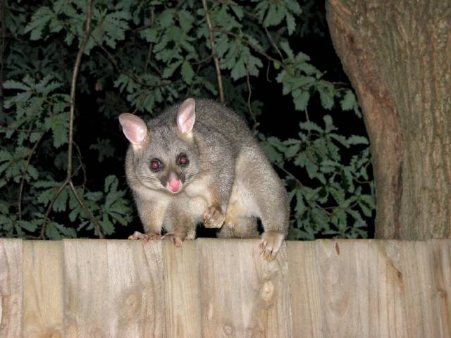 possum by andyroo64 Possums and Opossums: Australia and America. All Explained.