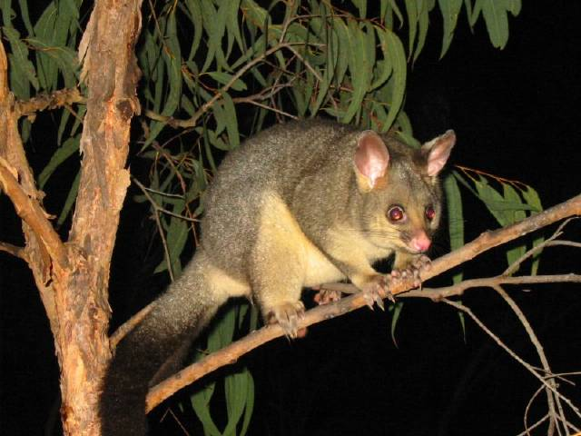 possum by wollombi Possums and Opossums: Australia and Am